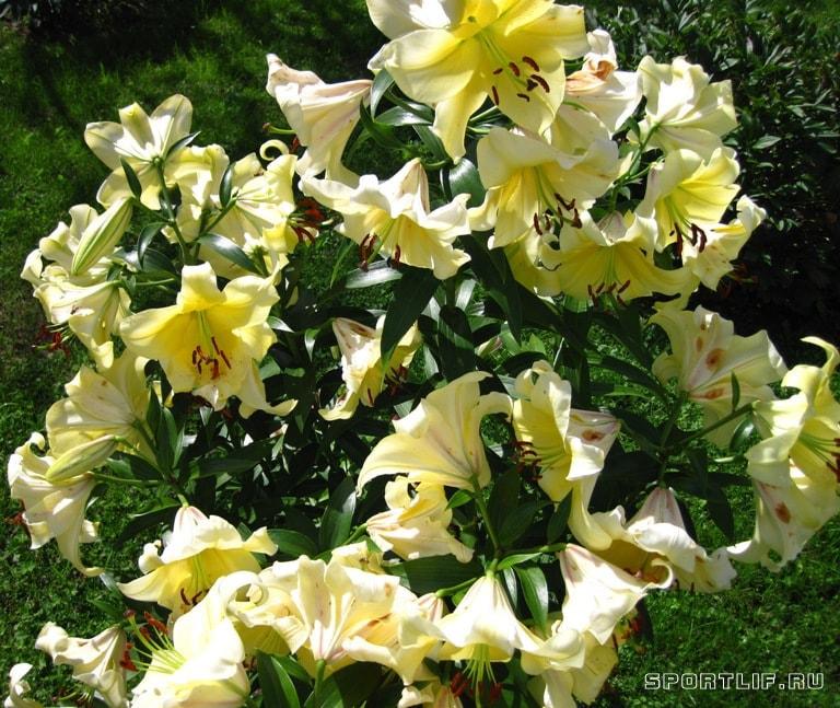 lilii