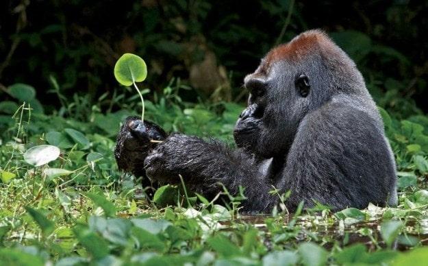 gorilla-min