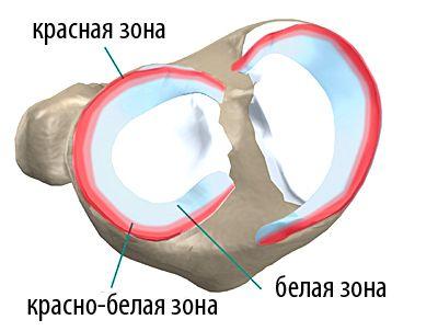 зоны мениска коленного сустава
