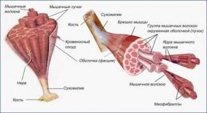 Изображение - Мышцы коленного сустава myshza-300x164