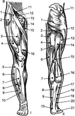 двигательные точки мышц
