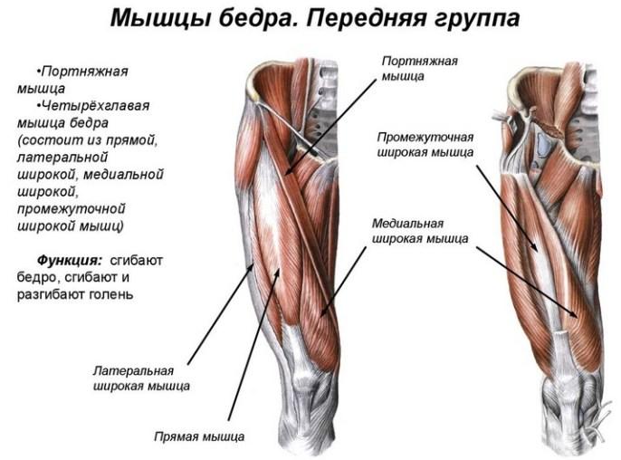 строение мышц бедра и приседания